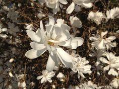 Magnolia in my garden