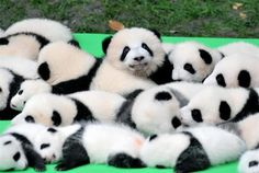 Theres so many cute baby pandas but that one just staring at the camera is so adorable . Theres so many cute baby pandas but that one just staring at the camera is so adorable . Niedlicher Panda, Panda Love, Cute Panda, Baby Cubs, Baby Panda Bears, Baby Pandas, Giant Pandas, Red Pandas, Types Of Pandas