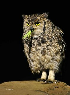 Fleckenuhu - Spotted Eagle Owl (Bubo africanus)  by Mark Drysdale