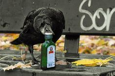 Funny animals - raven and the bottle