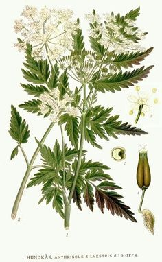 Anthriscus sylvestris, known as cow parsley, wild chervil, wild beaked parsley, keck, or Queen Anne's lace, is a herbaceous biennial or short-lived perennial plant in the family Apiaceae, genus Anthriscus.