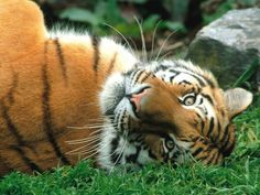 tiger on its back