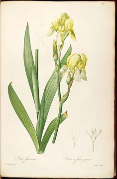 1813, vol. 7 - Les liliacees, illustrations by Redoute - Biodiversity Heritage Library