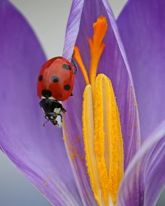 Ladybug: the garden's protector #goodluckcharm