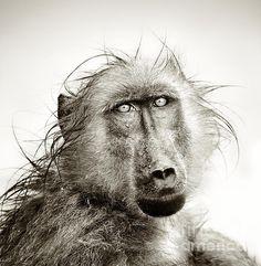 Wet Baboon Portrait Print By Johan Swanepoel