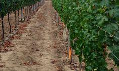 As vinhas marcadas são de castas muitas antigas, tão http://blogs.oglobo.globo.com/luciana-froes/post/melhor-vinicola-do-novo-mundo.htmlvelhas que os enólogos ainda não conseguiram identificar a variedade