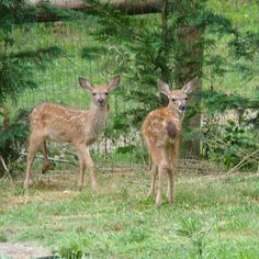 3 visitors in our yard one morning (momma is hiding off to the side)