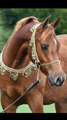 Fact: Arabians are considered one of the most beautiful horses in the world Horses And Dogs, Cute Horses, Pretty Horses, Horse Love, Wild Horses, Show Horses, Black Horses, Beautiful Arabian Horses, Majestic Horse