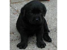 Labrador negru puiut Focsani - Anunturi gratuite - anunturili.ro Labrador Retriever, Dogs, Animals, Labrador Retrievers, Animales, Animaux, Doggies, Animais, Labrador Retriever Dog