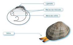 Bivalvos máis comúns no mar galego