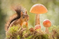 red squirrel is standing next to mushrooms with seed in mouth