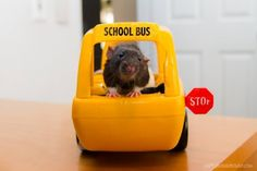 They don't know how to drive a school bus properly. | 19 Reasons Rats Are The Absolute Worst