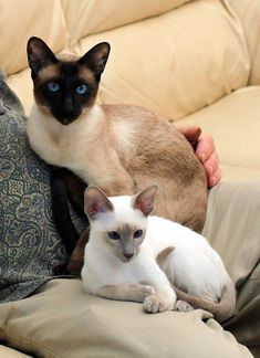 Cats | Siamese lap warmers Tap the link Now - Luxury Cat Gear - Treat Yourself and Your CAT! Stand Out in a Crowded World!