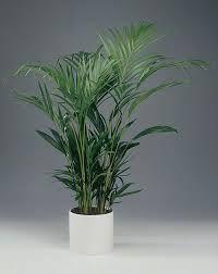 Chrysalidocarpus lutescens 'Guldpalm'