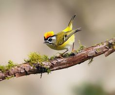 A beautiful Formosan Firecrest;  wildlife and bird photography by Dajan Chiou