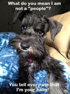 You'll experience life with a Schnauzer and you'll find out that there's no other with such remarkable intelligence.