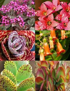 KALANCHOE variety mix @@ rare plant exotic succulent seed flowering pot 50 seeds in Home & Garden, Yard, Garden & Outdoor Living, Flowers, Trees & Plants | eBay
