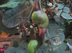 Cashew tree is finally blooming in the front lawn of a Costa Rica home. Hummm, just about ready for roastin' time.