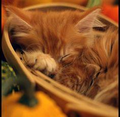 65991485_Autumn_Kitten_by_Prussian.jpg (650×637)