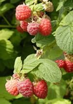 Encore Red Raspberry  Enjoy velvety, flavorful berries. This highly productive plant yields exceptionally sweet raspberries that melt in your mouth. Cold- and heat-tolerant. Ripens in late July to early August. Self-pollinating. Zones 4-8