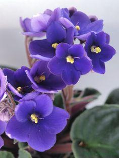 jardin exteriores imagenes : Flores   Violeta Africana
