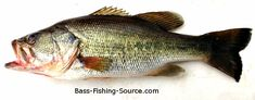 How to identify a Largemouth Bass.