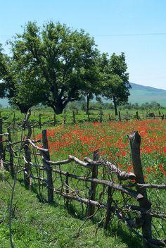 On the Road to Lahic, Poppies,Trees & Fence, Azerbaijan (by David)