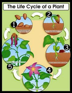THE LIFE CYCLE OF A PLANT | learningenglish-esl