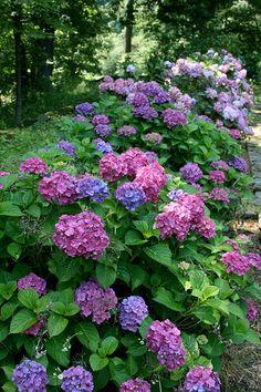 hydrangeas in the cutting garden