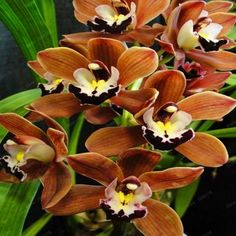 100pcs/bag numerous color Orchid Seeds various Orchid Species for Garden and Home Hot sale