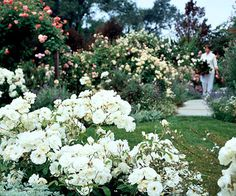 Basic Rose Care- the main things I've learned they like are lots of sun, lots of water, lots of food. I also think they're kind of like people- they like sun, but not too hot cool nights. Enough to eat drink, but the right amounts. Garden Mulch, Garden Plants, Garden Landscaping, Roses Garden, Indoor Garden, Garden Care, Pruning Roses, Rose Care, Garden Whimsy