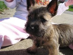 Tally (Cairn Terrier) as a pup.  She looked like a mini-donkey. IMG_5080 by weaverbl, via Flickr