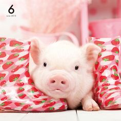 Introducing Artlist Collection animal calendars famous for THE DOG series. All pages of the latest calendars are available for browse. Baby Pigs, Pet Pigs, Guinea Pigs, Like Animals, Happy Animals, Animals And Pets, Miniature Pigs, Teacup Pigs, Mini Pigs