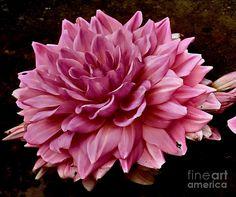 Pink Dahlia Photograph by Marcia Lee Jones