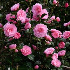 Camellia ' E.G. Waterhouse' is a spectacular flowering evergreen ornamental shrub which should be planted in semi shade in slightly acidic, well drained semi-moist soil. Description from onlineplants.com.au. I searched for this on bing.com/images