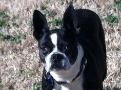 This is Jillian, she is one of TOH's newest foster babies. She is about two years old, is a black & white Boston Terrier, very small ( under 20 pounds), is heartworm neg., fully vaccinated, microchipped and will be spayed asap. She does great with other dogs, seems to have been used as a breeder girl ( sad), wants to be held and has the sweetest dispostion ever. She is in a Memphis area foster home waiting to be adopted. You can apply for her via our website: www.tailsofhopedogrescue.com