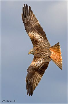 Redkite banking | Flickr - Photo Sharing! Eagle Pictures, Bird Pictures, Animal Pictures, Love Birds, Beautiful Birds, Animals Beautiful, Falke Tattoo, Bird Wings, Mundo Animal