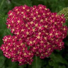 Desert Eve Deep Rose Achillea