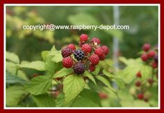 Black Raspberries - HOW to Grow, Nutrition and RECIPES!