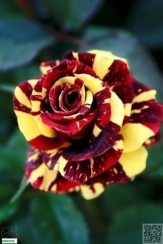 50 pcs rare tiger striped rose seeds bonsai beautiful flower seeds rainbow rose petals plant mix colors for home garden planting Colorful Roses, Exotic Flowers, Amazing Flowers, Beautiful Roses, My Flower, Beautiful Flowers, Rare Roses, Hybrid Tea Roses, Garden Care