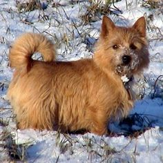 Of course i would start off this board with a picture of the cutest breed of dog in the world....Norwich Terrier : )