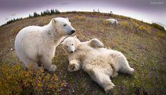 teenage polar bears