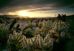 Joshua Tree National Park by QT Luong