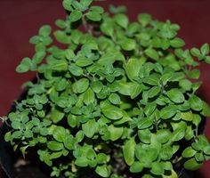 Oregano Herb Seeds Original Heirloom Herb Seed 400 by Herb Seeds, Outdoor Plants, Anniversary Sale, Bonsai, Perennials, Flower Pots, Home And Garden, Bloom, Perennial