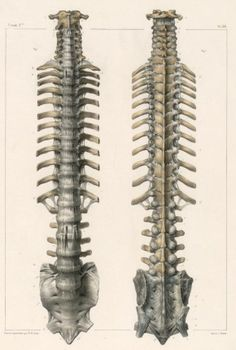 Spine%2C+with+ribs%2C+sacrum+and+ligaments.jpg (580×862)