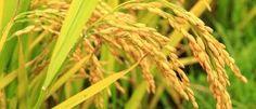 Penjelasan Bioteknologi Pertanian Serta Keuntungan Dan Manfaatnya - http://www.gurupendidikan.com/penjelasan-bioteknologi-pertanian-serta-keuntungan-dan-manfaatnya/