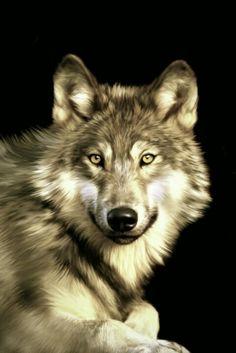 Jacob Art Print by Julie L Hoddinott : Lobos Wolf Photos, Wolf Pictures, Animal Pictures, Wolf Love, Wolf Spirit, Spirit Animal, Beautiful Creatures, Animals Beautiful, Tier Wolf