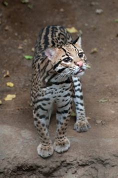 The Best Animal Rescue Centers and Sanctuaries in Costa Rica Small Wild Cats, Small Cat, Big Cats, Cool Cats, Cats And Kittens, Margay Cat, Serval Cats, Der Leopard, Leopard Cat