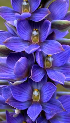 Great-Sun-Orchid ~Thelymitra sp.  From the Anglesea Heartlands, Australia; by Christine Walsh