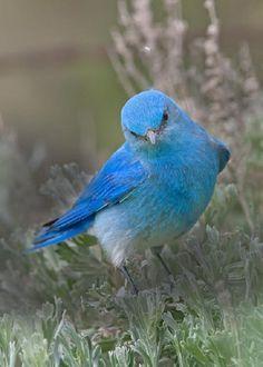 Mountain Bluebird....